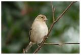 Chaffinch (female)
