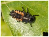 Coccinellidae sp. - Larva