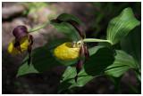 European wild orchids