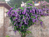 Al - Hamra, Beautiful Purple