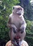 Naughty Savage Male Monkey