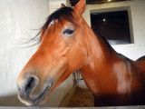 Red Calm Horse