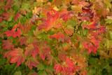 Vine Maple in Full Glory