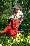 Migel filling Pear Bin