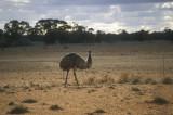 Emu at the roadside