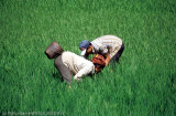 Bent over in the rice paddies