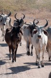 Cattle, Little Rann of Kutch