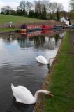 Swans grazing, Stewponey