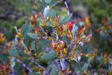 New growth on eucalypts