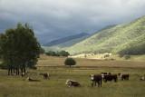 Cattle in the Kiewa Valley