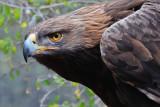 Golden Eagle 7