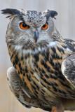Great Horned Owl 2
