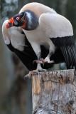 King Vulture 1