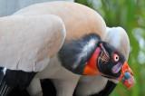 King Vulture 2