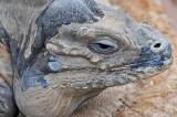 Rhinoceros Iguana 2