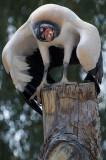 King Vulture 7