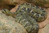 Black Tail Rattlesnake 2
