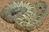 Black Tail Rattlesnake 5