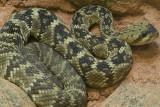Black Tail Rattlesnake 3