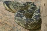 Black Tail Rattlesnake 4