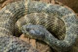 Speckled Rattlesnake 1
