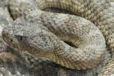 Tiger Rattlesnake 1