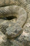Tiger Rattlesnake 2