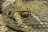 Western Diamondback Rattlesnake 17