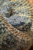 Speckled Rattlesnake 4