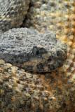 Speckled Rattlesnake 5