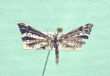 Pterophoridae - Plum Moths 6189 - 6234