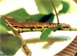 930798 (8806) Catocala parta - caterpillar