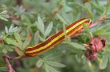 932877 (10295) Melanchra assimilis larva