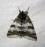 930795 (8803) Catocala relicta-  Likenee blanc