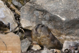 Brown Lemming - Bruine Lemming - Lemmus trimucronatus