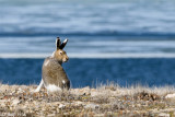 Arctic Hare - Poolhaas - Lepus arcticus