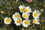 Entireleaf Mountain Avens - Dryas integrifolia