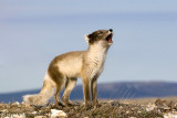 Cambridge Bay, Nunavut, Canada, June 25 - July 8, 2011: Birds & Mammals