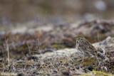 Savannah Sparrow - Savannah Gors - Passerculus sandwichensis