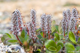 Arctic Willow - Arctische Wilg - Salix arctica