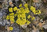 Flat-top Draba - Draba corymbosa