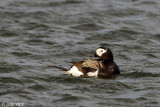 Long-tailed Duck - IJseend - Clangula hyemalis