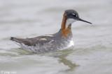 Red-necked Phalarope - Grauwe Franjepoot - Phalaropus lobatus