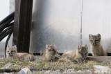 Arctic Fox - Poolvos - Alopex lagopus
