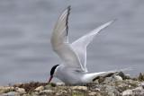 Arctic Tern - Noordse Stern - Sterna paradisaea