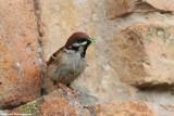 Passer montanus (tree sparrow-passera mattugia