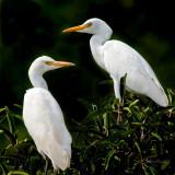 Two egrets 30 x 30 cm