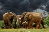 Aberdare Elephant. 44 x 29 cm