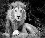 B&W Male Lion 72 x 61 cm