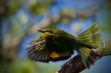 Bee-Eater flight 45 x 30 cm